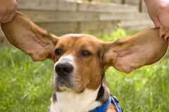 ухо beagle большое Стоковые Фото