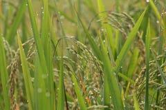 ухо fields зеленые неочищенные рисы Вьетнам Стоковое фото RF