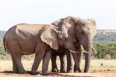 Ухо i вы все еще - слон Буша африканца Стоковое Изображение