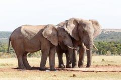 Ухо i вы - слон Буша африканца Стоковые Фото