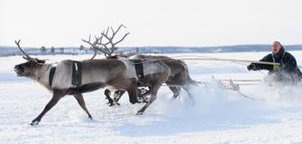 Участвовать в гонке на оленях во время Стоковое Фото