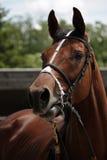 Участвуя в гонке лошадь Стоковые Изображения RF