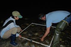 Ученые от Делавера подсчитывая Horseshoe крабов на ноче в воде на торошении Китс береговая линия залива Делавера стоковое фото rf