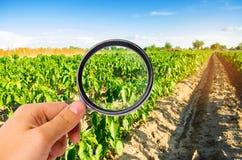 Ученый еды проверяет перец для химикатов и пестицидов полезные здоровые овощи pomology Agroindustry farming Har стоковые фото