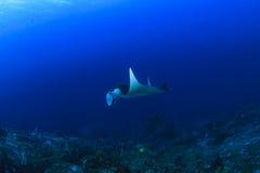 луч океана manta Мальдивов atoll addu индийский стоковое изображение rf