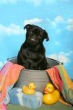 ушат pug ванны черный Стоковые Фото