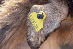 Уши бирки животных на ферме стоковые изображения rf