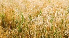 Уши взмаха ячменя в ветре Поле красивых ячменя рож золота лета и крупного плана пшеницы для зеленой индустрии видеоматериал