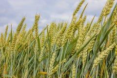 Уши в поле, конец-вверх Gree Стоковая Фотография RF