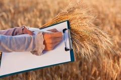 уши документа опорожняют женщин пшеницы рук s Стоковое Фото
