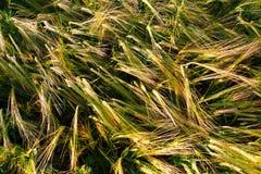 уши загиба близкие поднимают пшеницу взгляда Стоковая Фотография RF