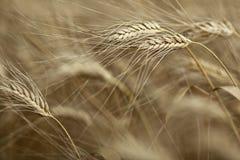 Уши зрелого ячменя Стоковое фото RF