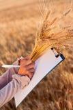 уши опорожняют женщин пшеницы обработки документов s рук Стоковые Фотографии RF