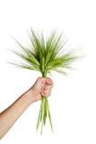 уши пачки вручают пшеницу человека удерживания Стоковая Фотография RF