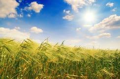 уши предпосылки красивейшие field заход солнца Стоковое Изображение RF