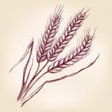 Уши пшеницы вручают вычерченный эскиз иллюстрации вектора Стоковое Изображение