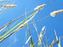 Уши пшеницы в лесе Стоковое фото RF