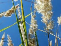 Уши пшеницы в лесе Стоковые Фотографии RF
