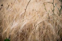 Уши пшеницы в поле в Провансали Стоковое фото RF