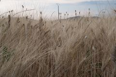 Уши пшеницы в поле в Провансали Стоковая Фотография