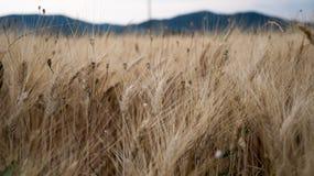 Уши пшеницы в поле в Провансали Стоковая Фотография RF