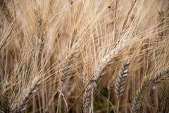 Уши пшеницы в поле в Провансали Стоковое Изображение RF