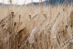 Уши пшеницы в поле в Провансали Стоковые Фотографии RF