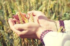 Уши пшеницы в руках Стоковая Фотография