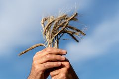 Уши пшеницы в руках ` s фермера стоковые изображения rf
