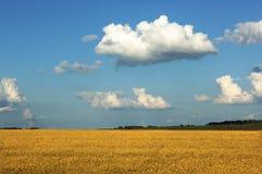 уши пшеницы 2005 -го в июне на поле Стоковая Фотография