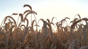 Уши пшеницы зерна сток-видео