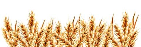 Уши пшеницы Иллюстрация акварели нарисованная рукой горизонтальная, изолированная на белой предпосылке бесплатная иллюстрация
