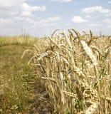Уши пшеницы на белизне Стоковое фото RF