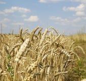 Уши пшеницы на белизне Стоковое Изображение RF