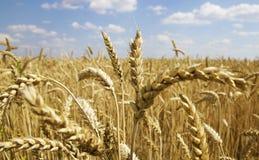 Уши пшеницы на белизне Стоковое Фото