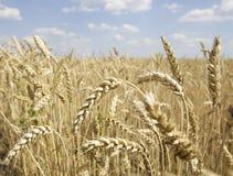 Уши пшеницы на белизне Стоковая Фотография