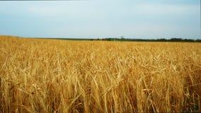Уши пшеницы на заходе солнца видеоматериал
