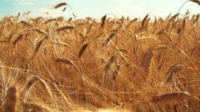 Уши пшеницы на зоре видеоматериал