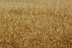 Уши пшеницы на поле 2005 -го июне Стоковая Фотография RF