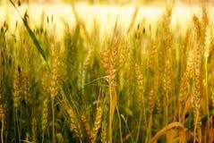 Уши пшеницы на поле конец вверх Стоковая Фотография