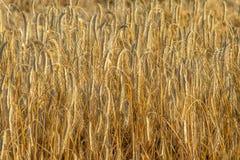 Уши пшеницы на поле покрытом золотом греют на солнце свет Стоковые Фотографии RF