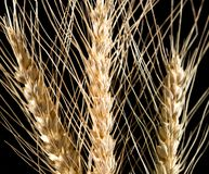 Уши пшеницы на черной предпосылке Стоковая Фотография