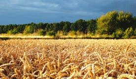 Уши пшеницы перед сбором Стоковые Изображения RF