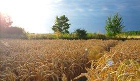 Уши пшеницы перед сбором Стоковые Фотографии RF