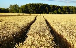 Уши пшеницы перед сбором Стоковая Фотография RF