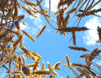 Уши пшеницы перед сбором Стоковое фото RF