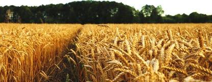 Уши пшеницы перед сбором Стоковое Фото