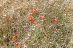 Уши пшеницы с голубыми cornflowers и красным маком перед сбором стоковые фото