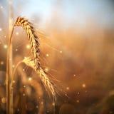 Уши пшеницы Стоковая Фотография RF