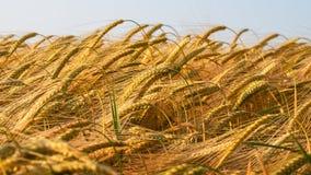 Уши пшеницы. Стоковые Фото